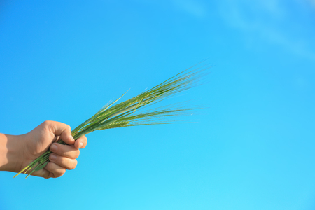 Man holding wheat spikelets on blue sky background