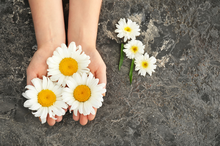 Female hands with beautiful chamomile flowers on grey background