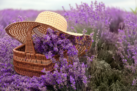 Wicker basket with beautiful lavender and hat in field on summer day