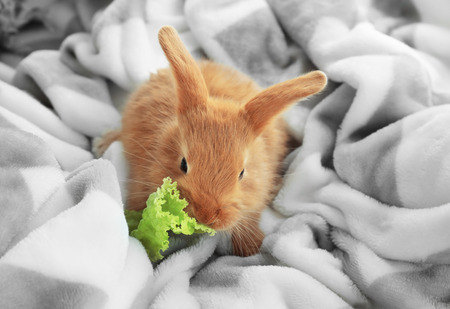 Cute fluffy bunny eating lettuce on soft plaid at home