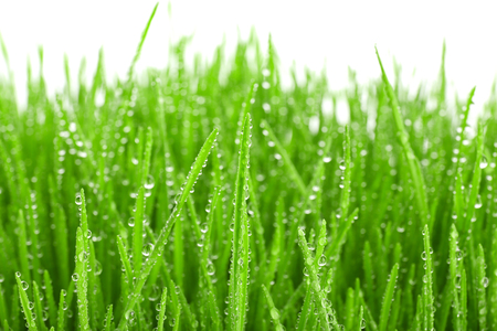Sprouted wheat grass on white background, closeup