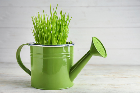 Watering can with sprouted wheat grass on wooden table Stockfoto