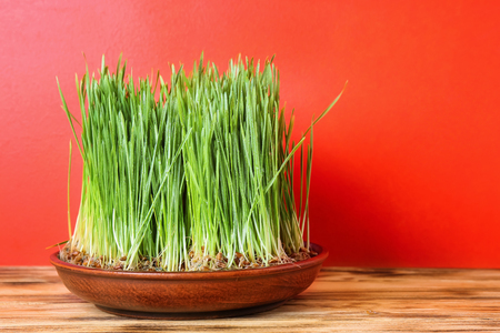 Dish with sprouted wheat grass on table against color background