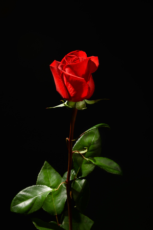 Beautiful red rose on black background Standard-Bild