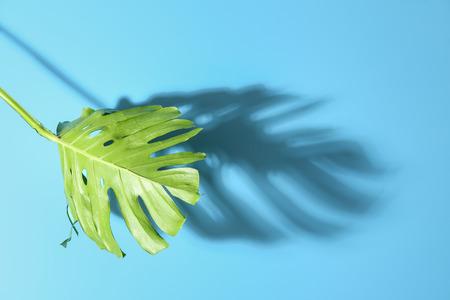 Fresh monstera leaf on color background