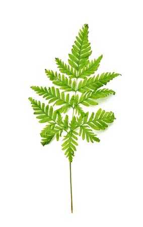 Fresh tropical fern leaf on white background Reklamní fotografie