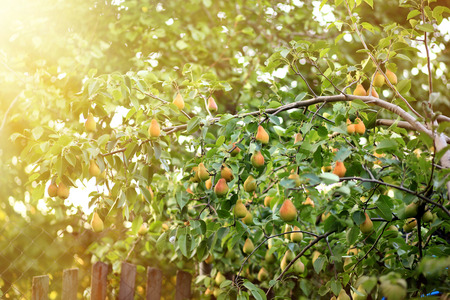Green tree with juicy pears in garden