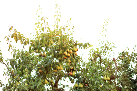 Green tree with juicy pears in garden Stok Fotoğraf