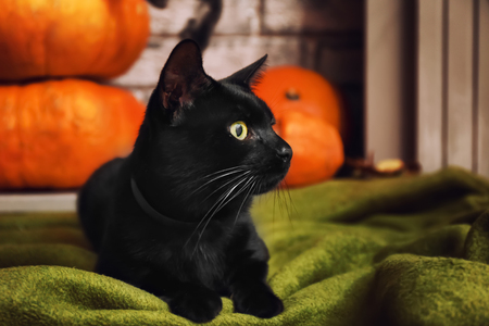 Cute black cat lying on plaid in room decorated for Halloween