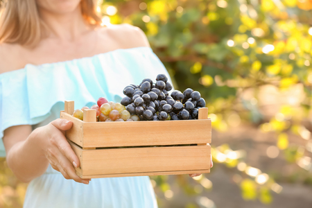 Woman holding crate with fresh ripe juicy grapes in vineyard Foto de archivo