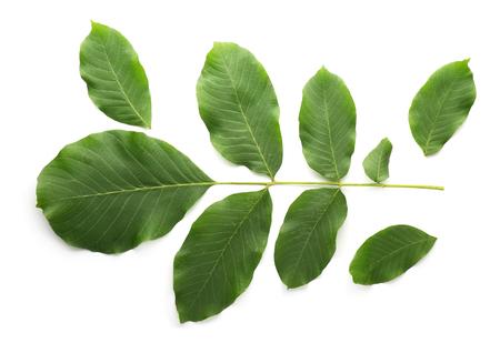 Green leaves of walnut tree on white background Banco de Imagens