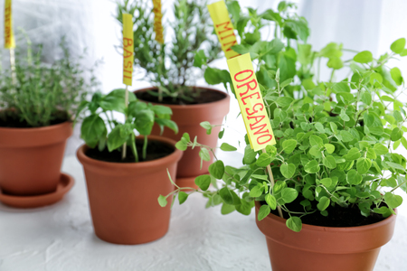 Pots with fresh aromatic herbs on white table