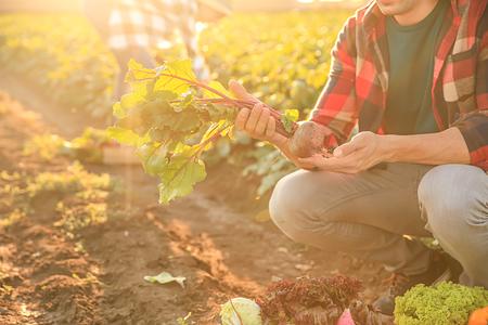 Male farmer gathering vegetables in field