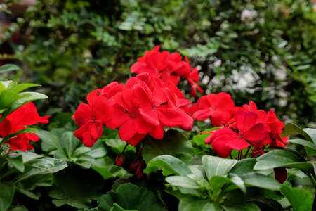 Beautiful red flowers Stockfoto - 116167148