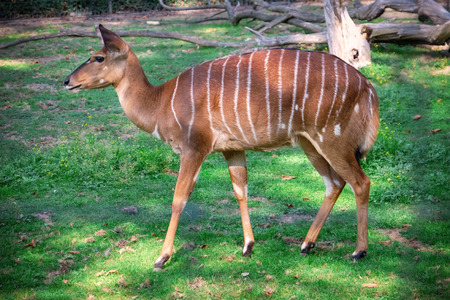 Cute nyala antelope in zoological garden
