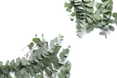 Green eucalyptus branches on white background Imagens