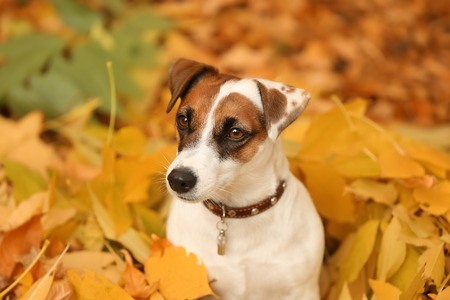 Cute funny dog on yellow leaves in autumn park Фото со стока