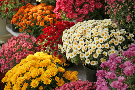 Pots with beautiful chrysanthemum flowers