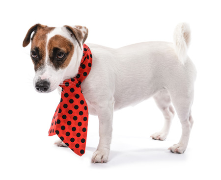 Cute funny dog with scarf on white background Фото со стока
