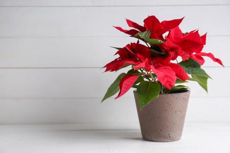 Weihnachtsblumen Weihnachtsstern auf weißem Tisch Standard-Bild
