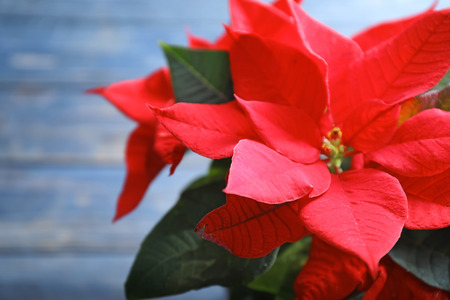 Christmas flower poinsettia, closeup Stock Photo