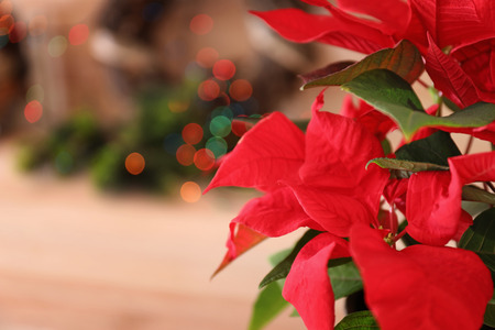 Christmas flower poinsettia, closeup 写真素材