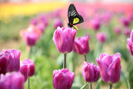 Beautiful butterfly on blossoming tulip in garden