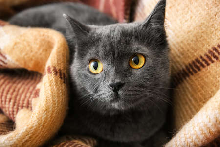 Cute funny cat with warm plaid at home