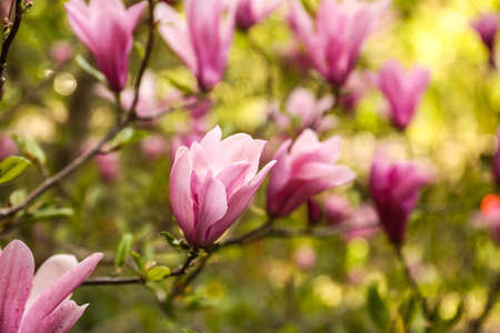 Beautiful blossoming magnolia tree on spring day Stok Fotoğraf