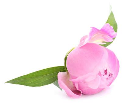 Beautiful peony flower on white background