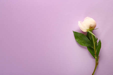 Beautiful peony on color background