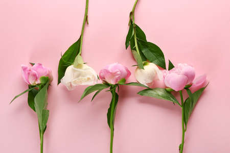 Beautiful peonies on color background