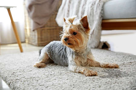 Cute dog near wet spot on carpet Imagens