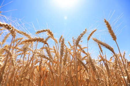 Wheat spikelets in field on sunny day