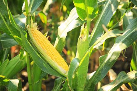 Corn growing in field, closeup