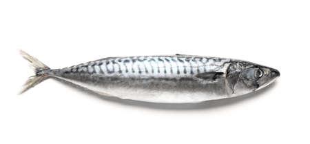 Raw mackerel fish on white background