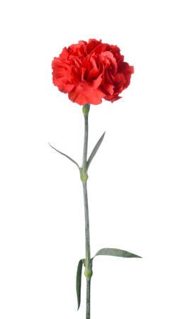 Beautiful carnation flower on white background