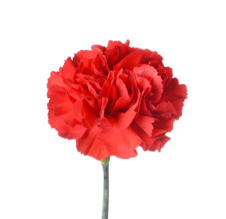 Beautiful carnation flower on white background Zdjęcie Seryjne