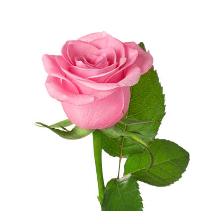 Beautiful blooming rose on white background