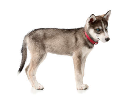 Cute husky puppy on white background