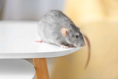 Cute rat on table in room
