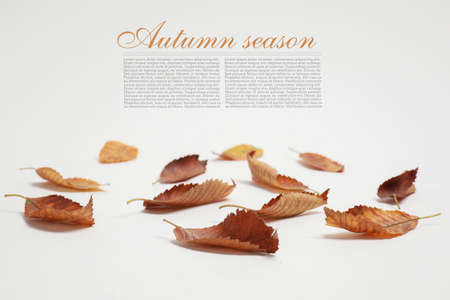 Autumn leaves on white background with space for text