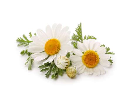 Fresh chamomile flowers on white background