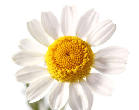Fresh chamomile flower on white background Foto de archivo
