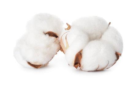 Beautiful cotton flowers on white background Archivio Fotografico