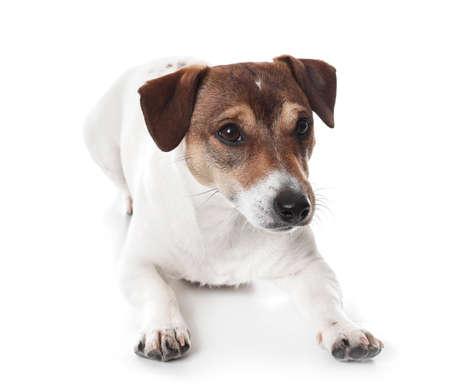 Cute Jack Russel Terrier on white background Banco de Imagens