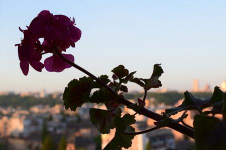 Ukraine, Kiev, Over a megacity of lonely geranium blossoms