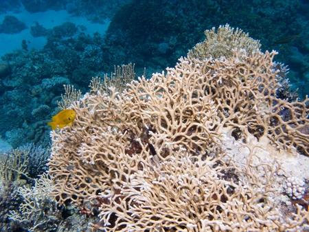 Huge Egyptian coral with a small yellow fish at the first plane and blue depth on the second plane Stock Photo