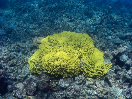 This is a huge yellow lettuce coral in the Three Polls near Dahab, Egypt