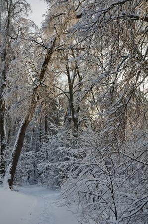 Beautiful view of the shiny and frozen winter forest Stock Photo